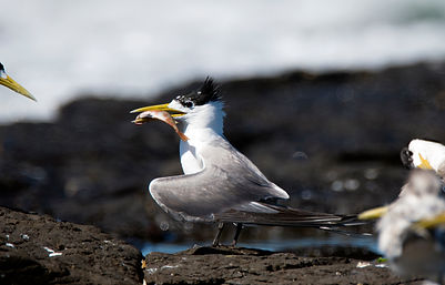 Gulls, Terns and Noddies