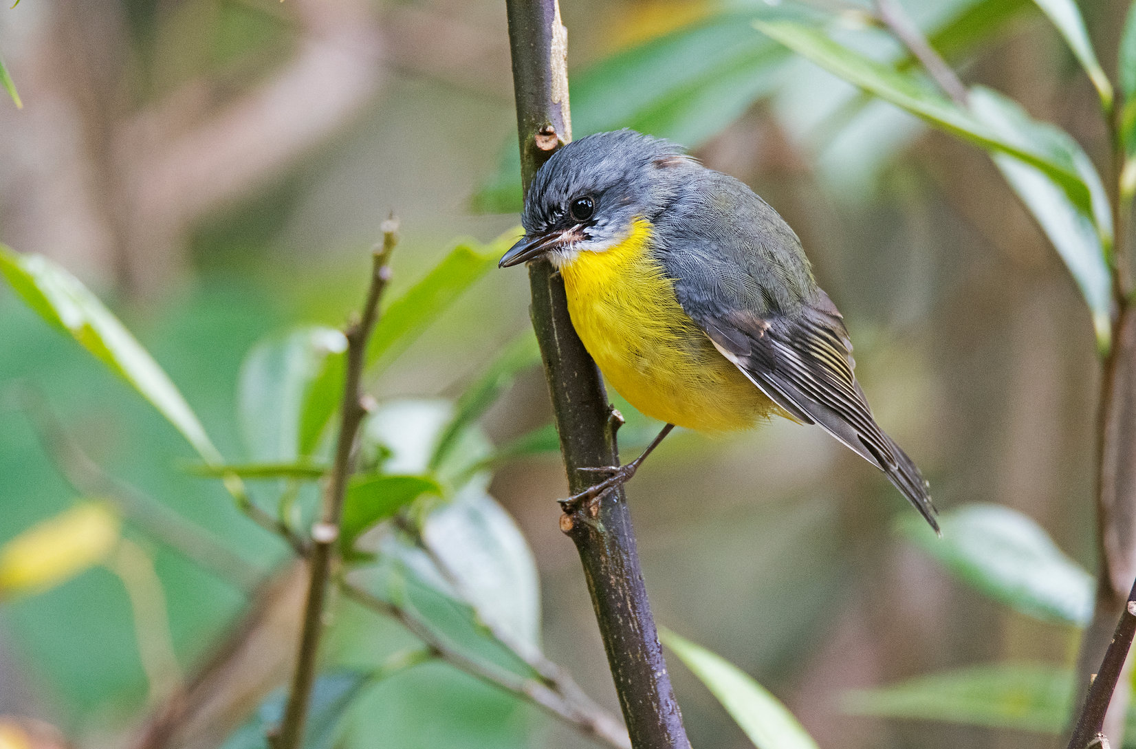 South-eastern Yellow Robin