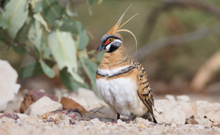 Eastern Spinifex Pigeon
