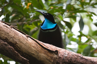 Australian Magnificent Riflebird