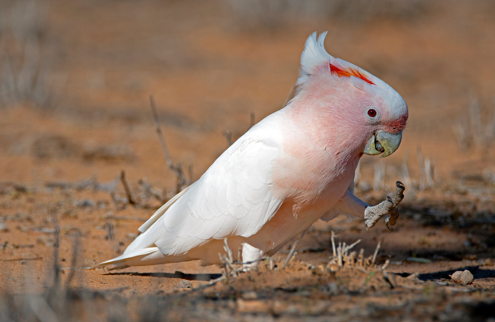 Eastern Major Mitchell's Cockatoo