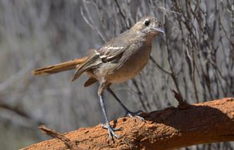 Southern Scrub-robin