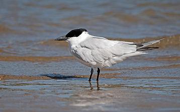 Common Gull-billed Tern