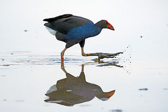 Australasian Purple Swamphen