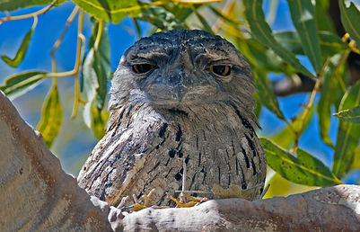 Frogmouths