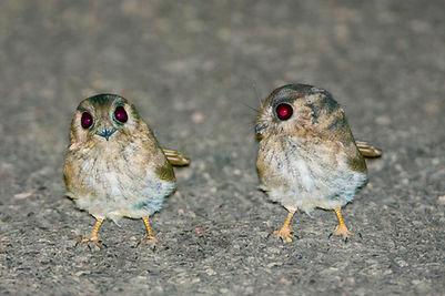 Owlet Nightjars