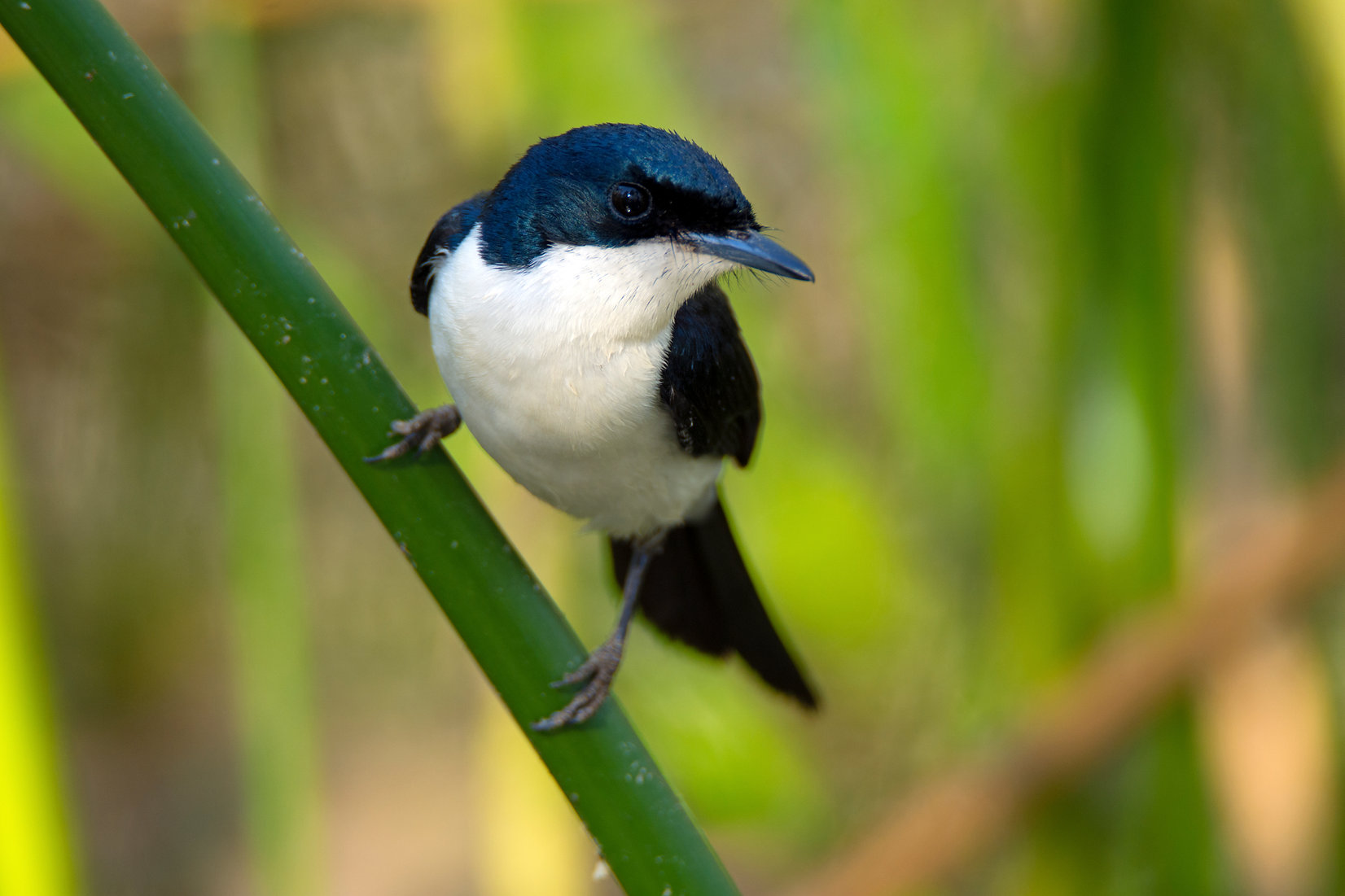 Northern Restless Flycatcher