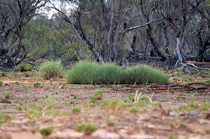Spinifex grassland