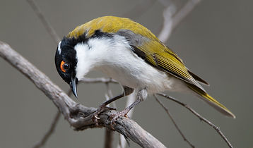 White-naped Honeyeater
