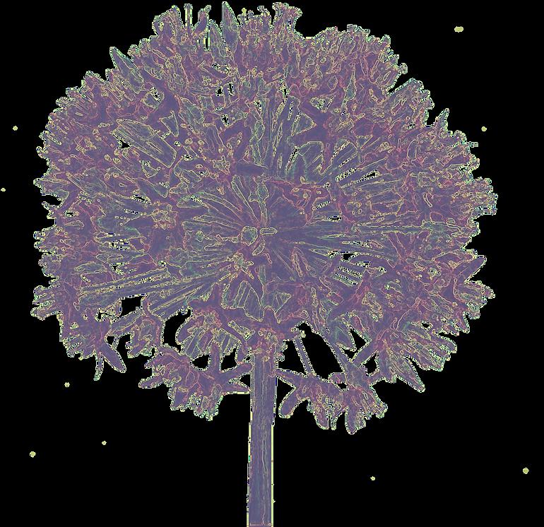 TRT Allium Flower Transparent Background
