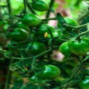 Philippine Tomatoes