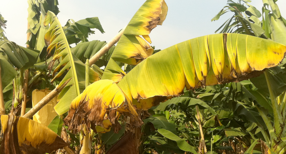 Discoloration of Banana Leaves