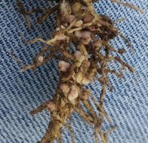 Healthy Root Nodules – Field Pea