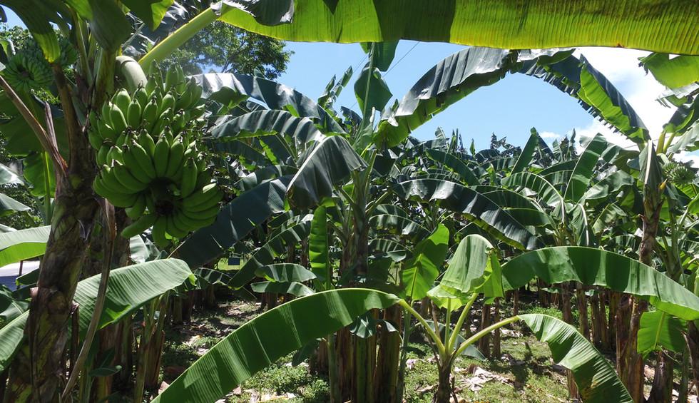 7-10-17-29-banana ph.JPG