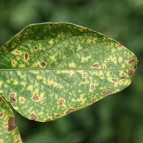 Soybean Disease Management