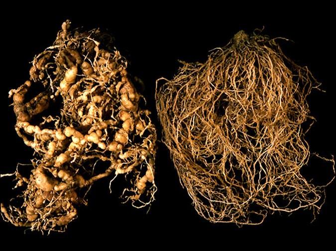 Infected Root (Nematode)