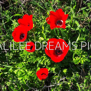 Trees flowers & herbs3: Anemone from the Galilee