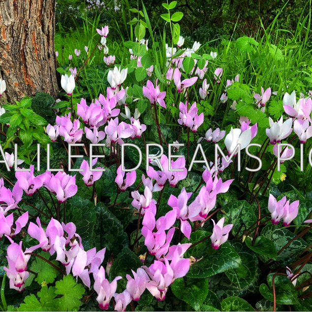 Trees flowers & herbs8: Cyclamen in the Galilee