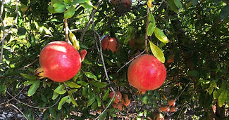 Pomegranate in the Galilee.jpg