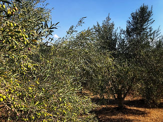our olive grove.jpeg