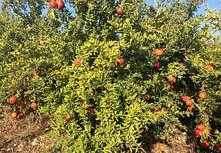 Pomegranate in the Galilee .jpg