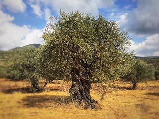 Galilee- land of olives2.JPG