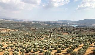 Galilee land of olives2.jpg