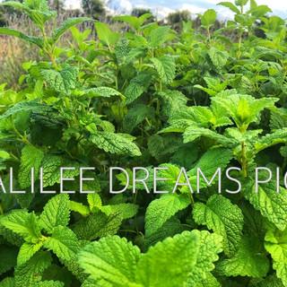Trees flowers & herbs6: Lemon Balm in Galilee Dreams herb garden