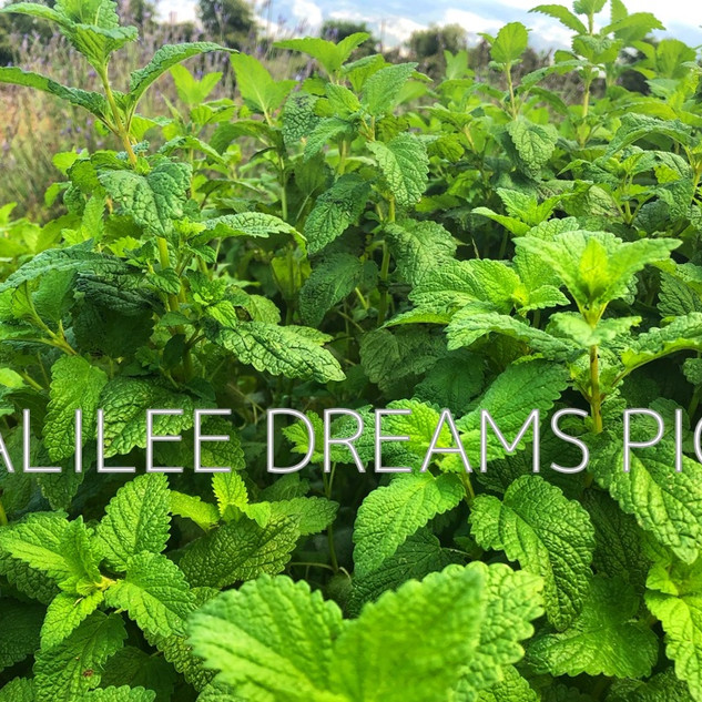 Trees flowers & herbs6: Lemon Balm in Galilee Dreams herb garden