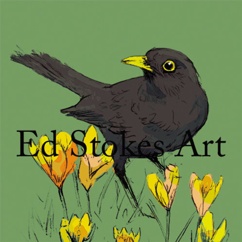 Blackbird in Spring Crocuses