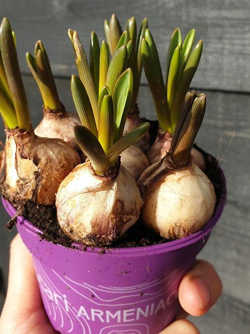 Muscari Bulb