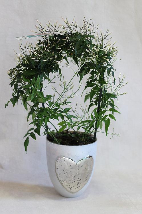 Scented Jasmine in pot