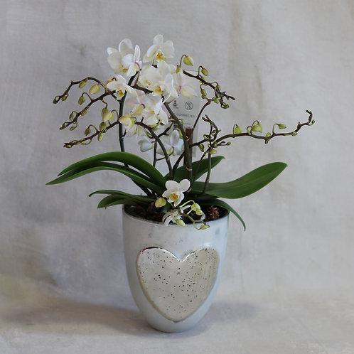 Mini Wild Phalaenopsis Orchid & Pot