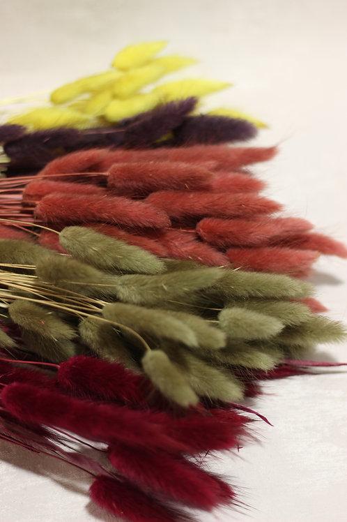Coloured Lagurus