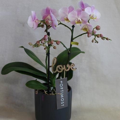 Pink Phalaenopsis in pot