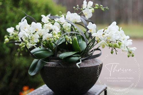 Wild Phalaenopsis Planter