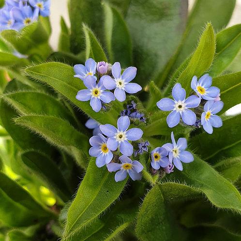 Mysotis Plant