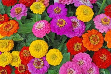 Zinnia Flowers(Fresh Cut -Long Stem Bundle)