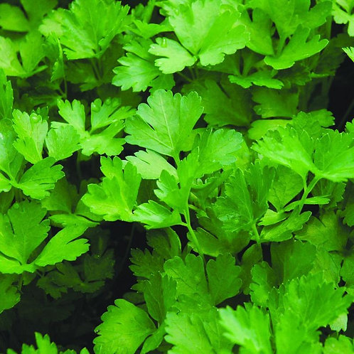 Parsley - Italian (Flat Leaf)