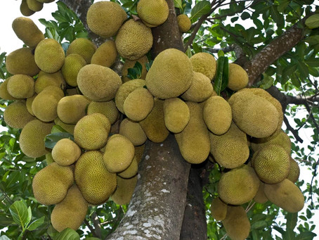 Yes, Jack fruits are grown in The Bahamas