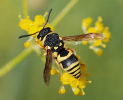 Wasp's