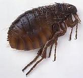 Fleas Denton