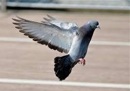 Bird Control Manchester