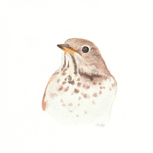 Hermit Thrush Digital Download