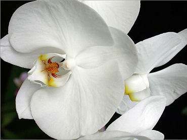 Orchid photography by Holly Gage