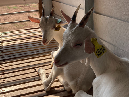 The Good Goat Project