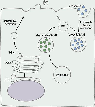 exosome_and_MV_biogenesis.jpg