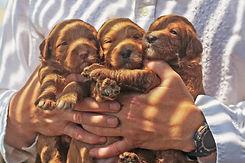 HandfulofPuppies.jpg
