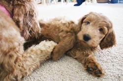Wonderland Goldendoodles Puppies