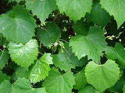 grape leaves2